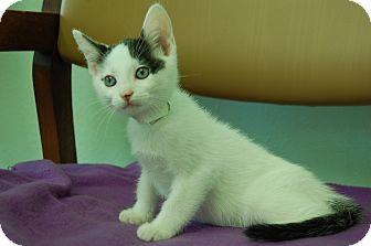 Domestic Shorthair Kitten for adoption in Bradenton, Florida - Angelica