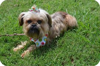 Brussels Griffon/Terrier (Unknown Type, Small) Mix Dog for adoption in Bedminster, New Jersey - Penelope