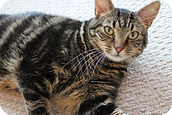 Bengal Cat for adoption in Huntington Station, New York - MITCH
