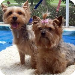 Yorkie, Yorkshire Terrier Dog for adoption in Tallahassee, Florida - Mister