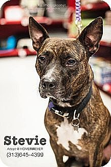 American Pit Bull Terrier Mix Dog for adoption in Detroit, Michigan - Stevie