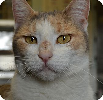 Calico Cat for adoption in Manahawkin, New Jersey - Rachel