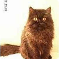 Adopt A Pet :: Fluffy - Arlington, VA