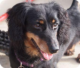 Dachshund Dog for adoption in Prole, Iowa - Bonnie