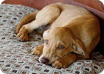 Labrador Retriever Mix Puppy for adoption in Spring Valley, New York - Moogan