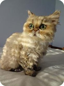 Persian Cat for adoption in East Brunswick, New Jersey - Shelby