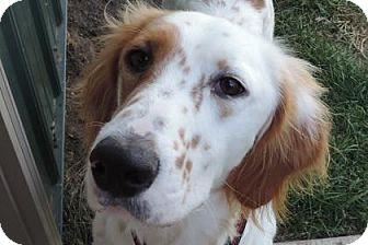 English Setter Dog for adoption in Brookings, South Dakota - Dyson
