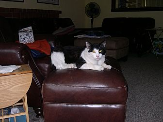 Domestic Shorthair Cat for adoption in Hurricane, Utah - Herbie