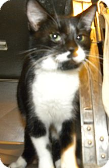 Domestic Shorthair Cat for adoption in Pilot Point, Texas - MELODY