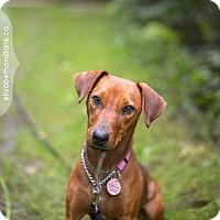 Adopt A Pet :: Mabel - Rigaud, QC