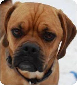 Pug/Beagle Mix Dog for adoption in Beachwood, Ohio - Buddy