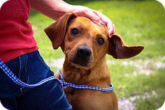 Redbone Coonhound/Feist Mix Dog for adoption in Cincinnati, Ohio - Cowboy: Fairfield $31