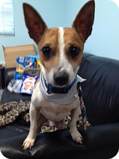 Jack Russell Terrier Mix Dog for adoption in Greenville, North Carolina - PeeWee