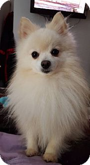 Pomeranian Dog for adoption in Edmond, Oklahoma - Duncan (Adoption Pending)