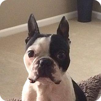 Boston Terrier Mix Dog for adoption in San Francisco, California - Geo