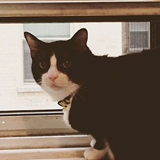 Domestic Shorthair Cat for adoption in Whitestone, New York - Freddie