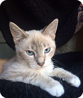 Siamese Kitten for adoption in Irvine, California - RALPHIE