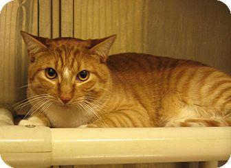 Domestic Shorthair Cat for adoption in Stillwater, Oklahoma - Atticus