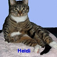 Domestic Shorthair Cat for adoption in Hampton, Virginia - Heidi