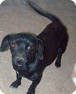 Dachshund Mix Dog for adoption in Olympia, Washington - Dee Dee