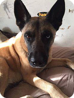 Shepherd (Unknown Type)/Husky Mix Dog for adoption in Acushnet, Massachusetts - Rhomble