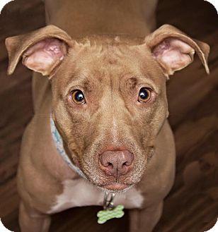 Labrador Retriever/American Pit Bull Terrier Mix Dog for adoption in Elgin, Illinois - Sugar