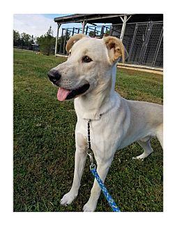 Shepherd (Unknown Type)/Labrador Retriever Mix Dog for adoption in LaGrange, Kentucky - WRIGLEY