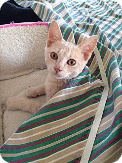 Domestic Shorthair Kitten for adoption in Randleman, North Carolina - Simba
