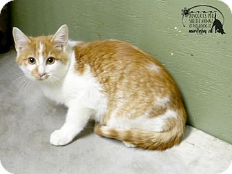 Domestic Shorthair Cat for adoption in Marlinton, West Virginia - Kody--RESCUED!