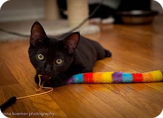 Bombay Kitten for adoption in Los Angeles, California - Sassafras