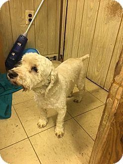 Poodle (Miniature)/Cocker Spaniel Mix Dog for adoption in Media, Pennsylvania - Oscar