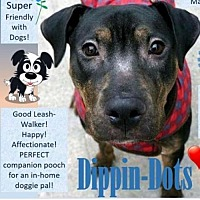 Pit Bull Terrier Mix Dog for adoption in New York, New York - Dippin-Dots
