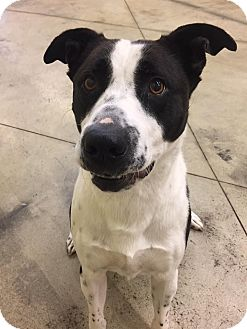 Labrador Retriever/Border Collie Mix Dog for adoption in SHELBY TWP, Michigan - Ricky