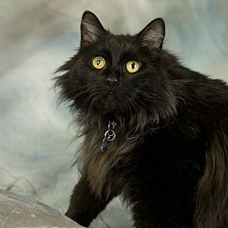 Domestic Longhair Cat for adoption in Anchorage, Alaska - Clyde
