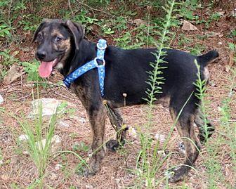 Whippet/Plott Hound Mix Puppy for adoption in Towson, Maryland - Ferris