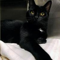 Adopt A Pet :: Banchi - Corvallis, OR