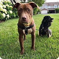 Adopt A Pet :: Hera - Villa Park, IL