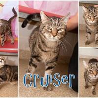 Adopt A Pet :: Cruiser - Munster, IN