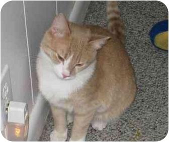 Domestic Shorthair Cat for adoption in Radford, Virginia - Alvin
