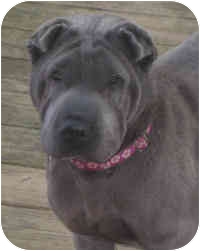 Shar Pei Dog for adoption in Barnegat Light, New Jersey - Darla
