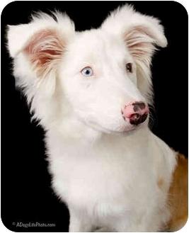 Australian Shepherd Mix Puppy for adoption in Mesa, Arizona - Bristal