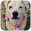 Photo 1 - American Staffordshire Terrier Mix Dog for adoption in Huntington, New York - Susie Snowflake