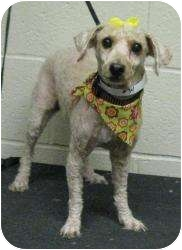 Poodle (Miniature) Dog for adoption in Rochester, Michigan - Elisa