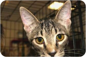 Domestic Shorthair Cat for adoption in San Ramon, California - Duncan
