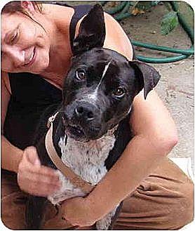 Labrador Retriever/Boxer Mix Dog for adoption in West Los Angeles, California - Gabriel