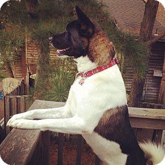 Akita Dog for adoption in Virginia Beach, Virginia - Thor