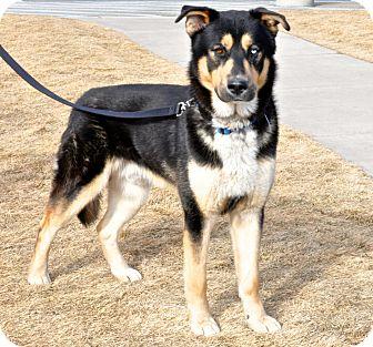 German Shepherd Dog/Husky Mix Dog for adoption in Great Falls, Montana - Moose