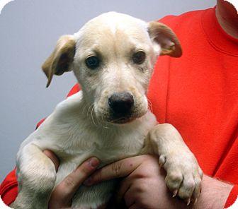 Labrador Retriever Mix Puppy for adoption in Greencastle, North Carolina - Otter