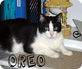 Domestic Shorthair Cat for adoption in River Edge, New Jersey - Oreo