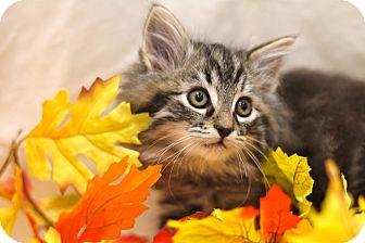 Maine Coon Kitten for adoption in Sacramento, California - Romeo
